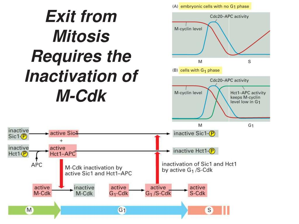 Exit from Mitosis Requires the Inactivation of M-Cdk