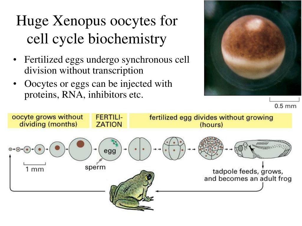 Huge Xenopus oocytes for cell cycle biochemistry