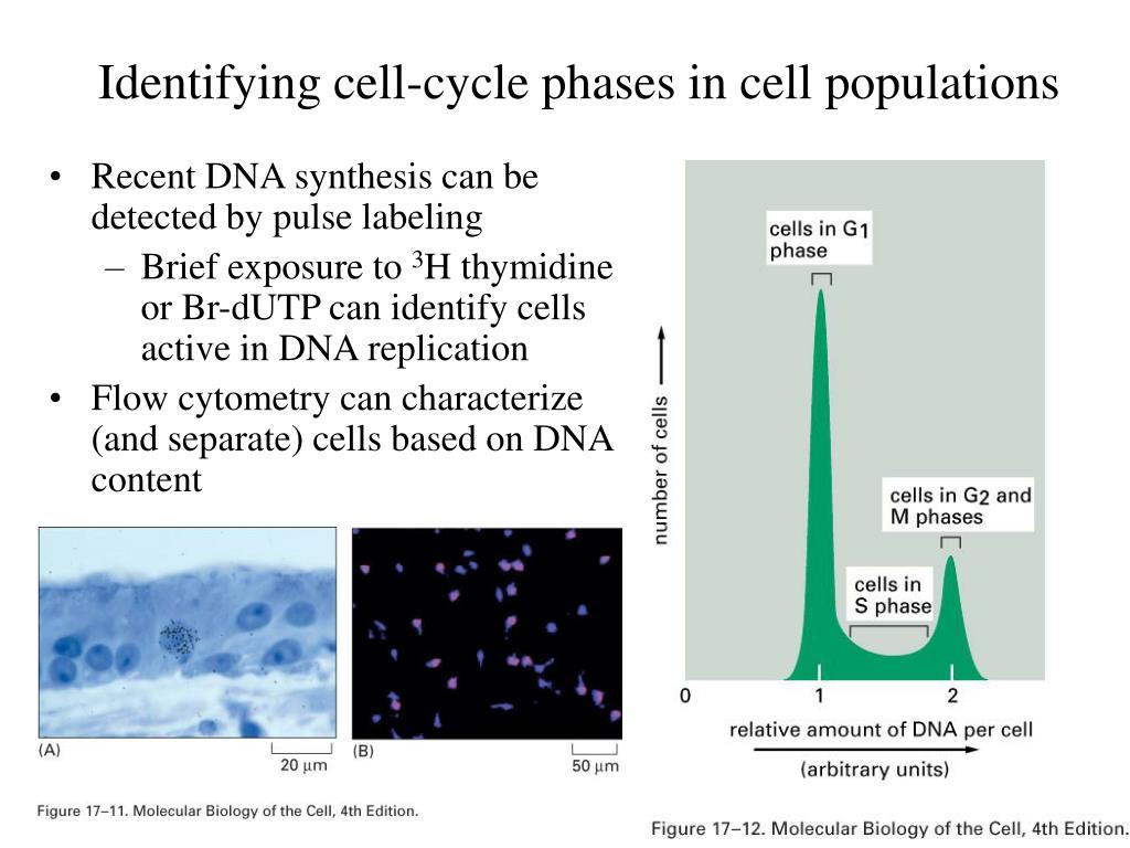Identifying cell-cycle phases in cell populations