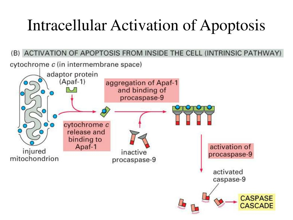 Intracellular Activation of Apoptosis