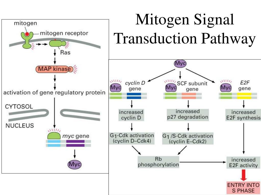 Mitogen Signal Transduction Pathway