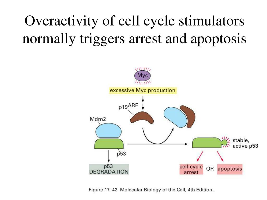 Overactivity of cell cycle stimulators normally triggers arrest and apoptosis
