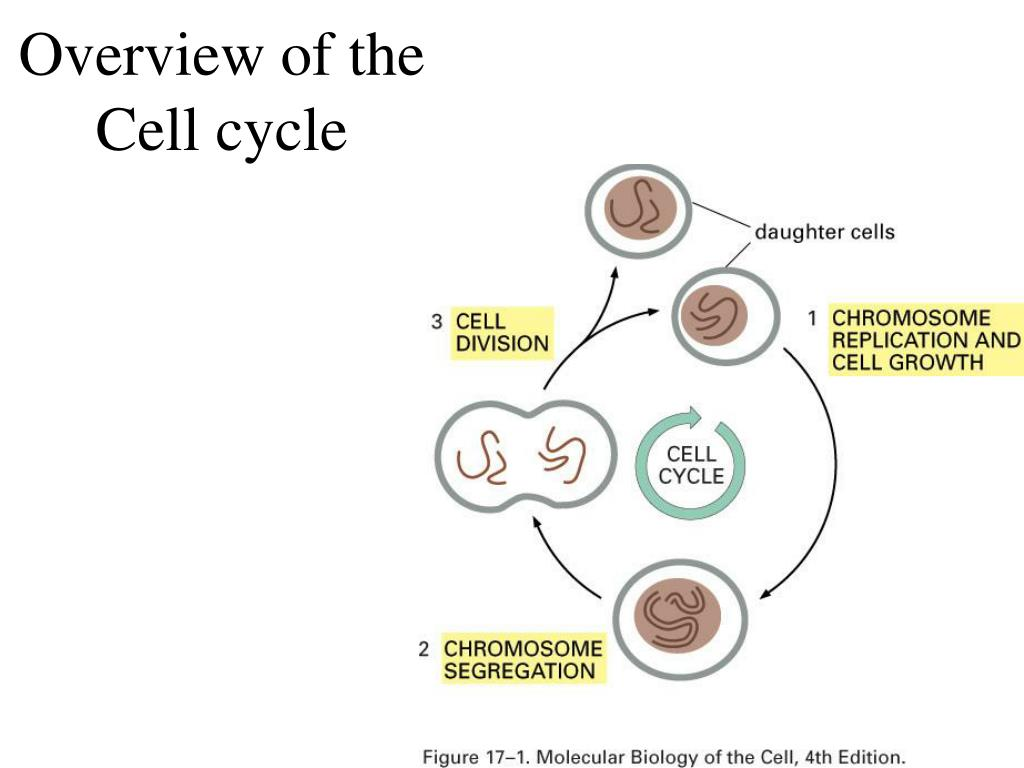 Overview of the Cell cycle