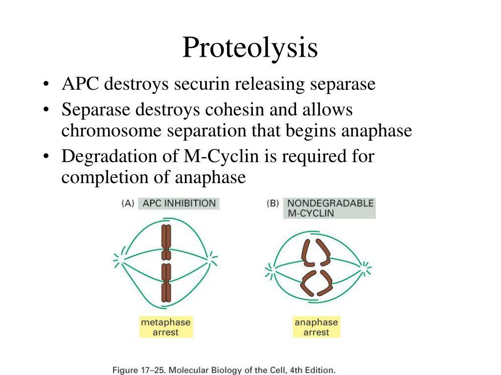 Proteolysis