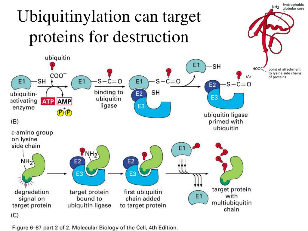 Ubiquitinylation can target proteins for destruction
