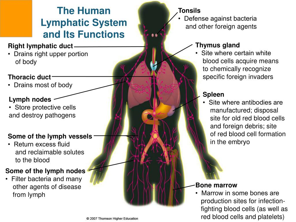 The Human Lymphatic System