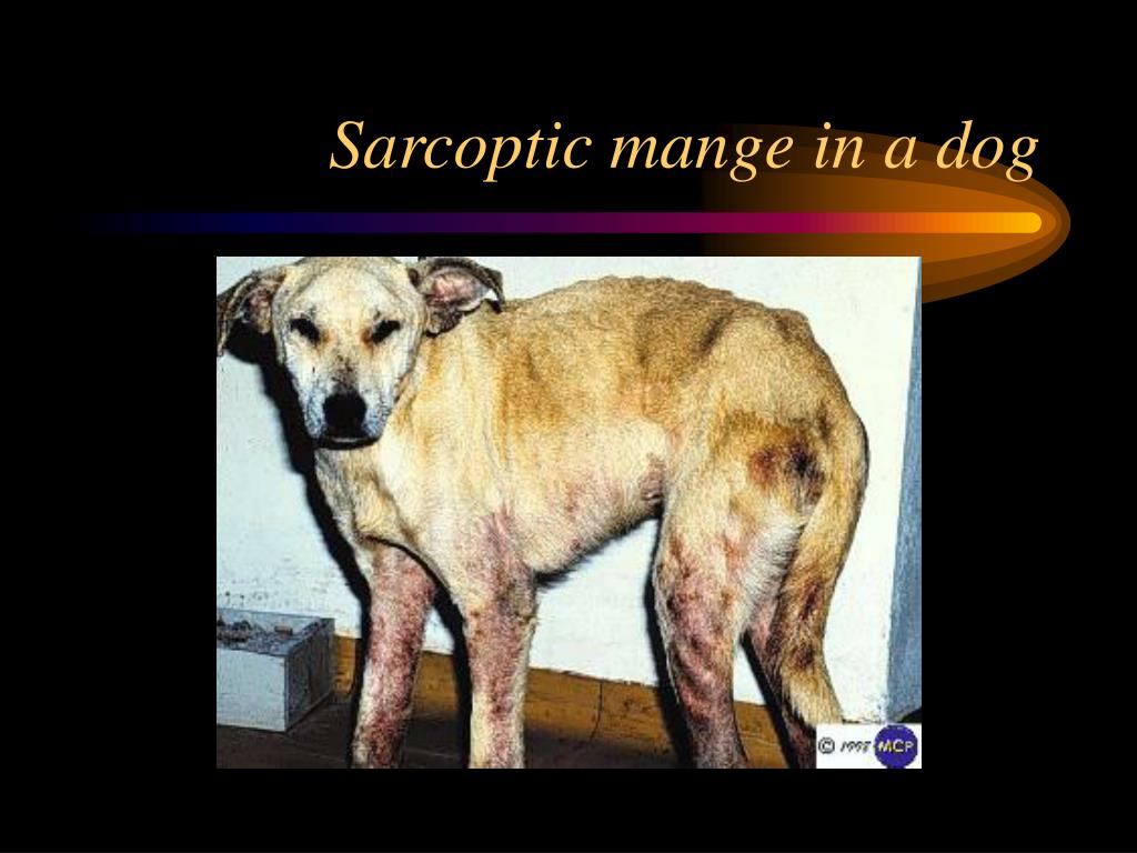 Sarcoptic mange in a dog