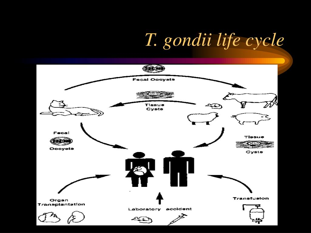 T. gondii life cycle