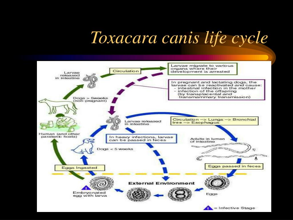 Toxacara canis life cycle