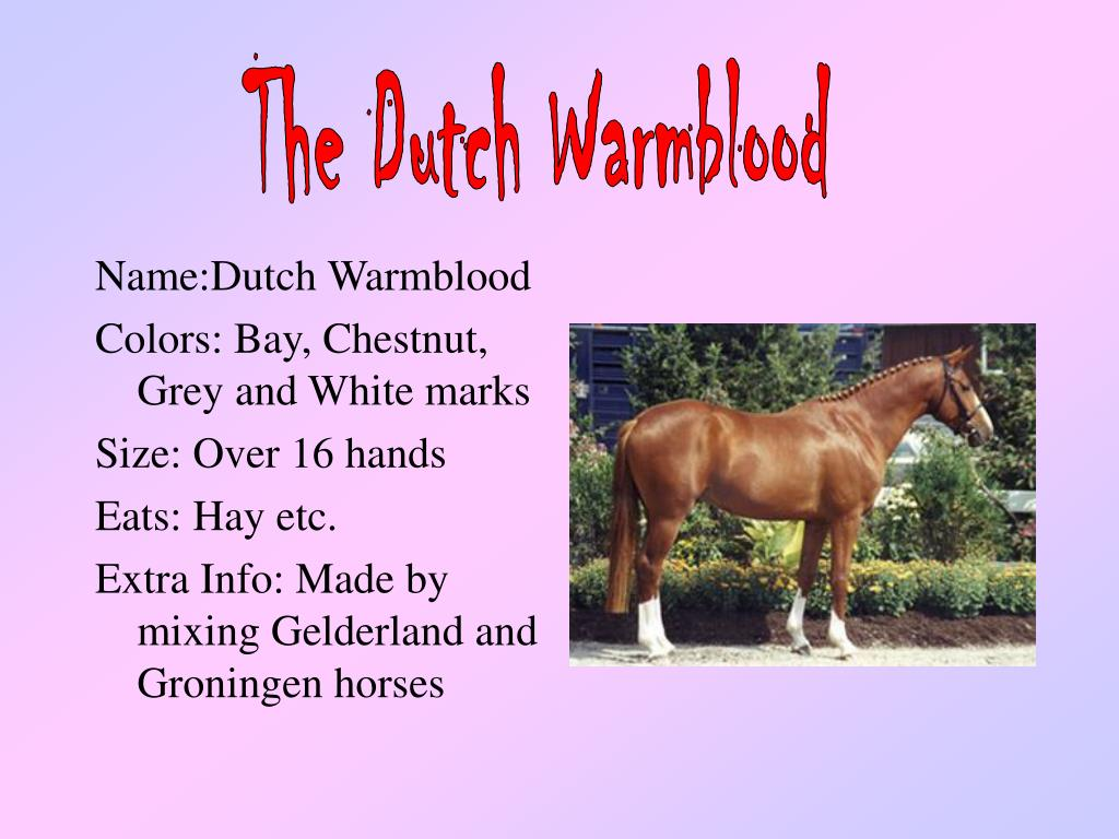 The Dutch Warmblood