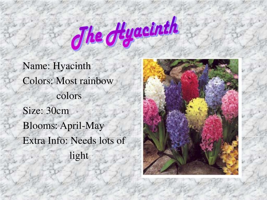 The Hyacinth
