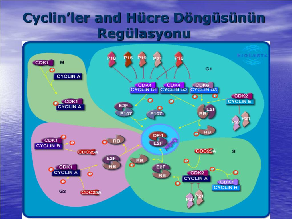Cyclin'ler and Hücre Döngüsünün