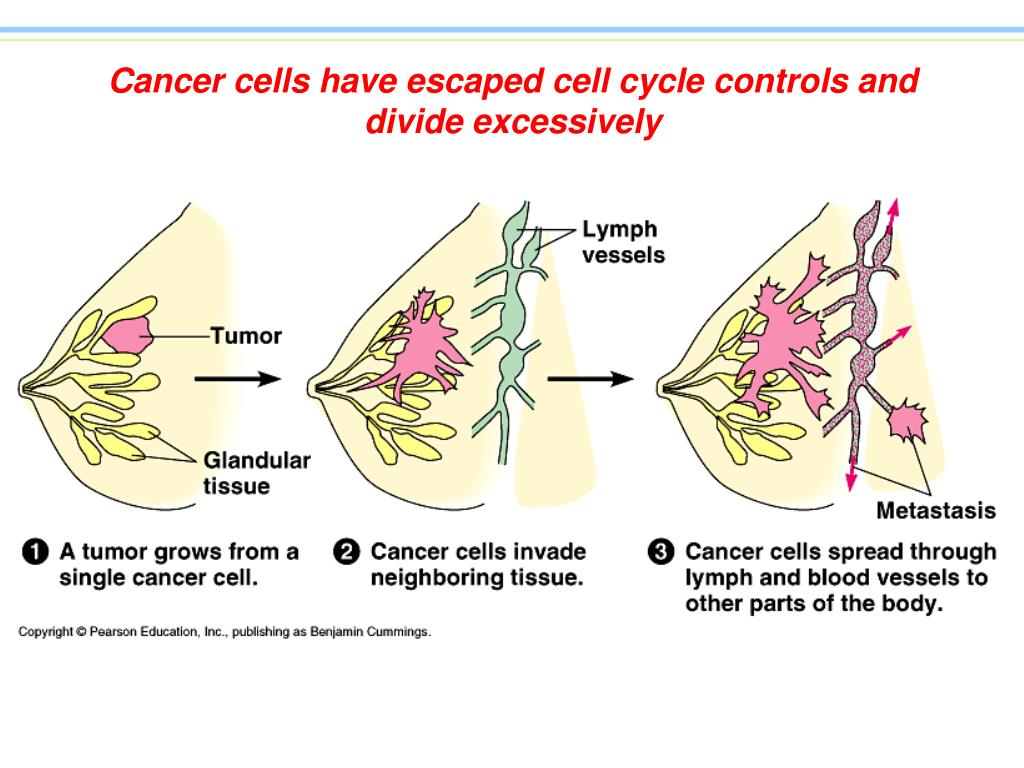 Cancer cells have escaped cell cycle controls and