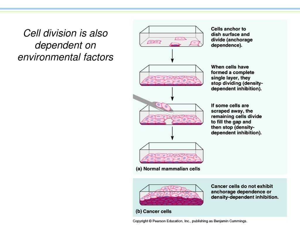 Cell division is also dependent on environmental factors
