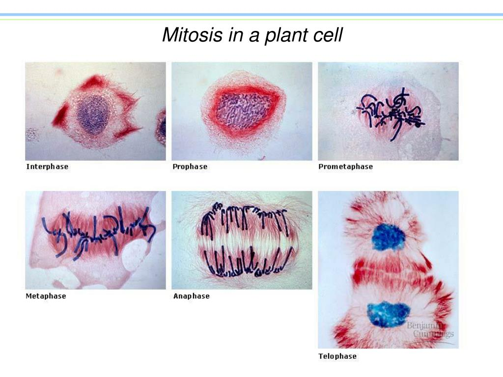 Mitosis in a plant cell