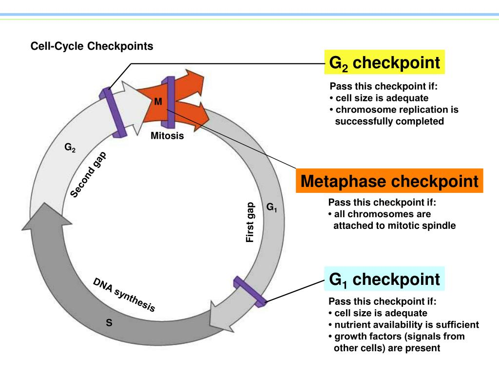 Cell-Cycle Checkpoints