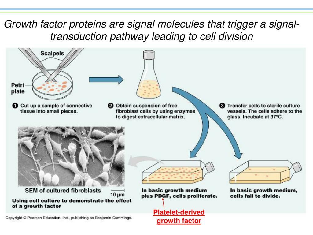 Growth factor proteins are signal molecules that trigger a signal-transduction pathway leading to cell division