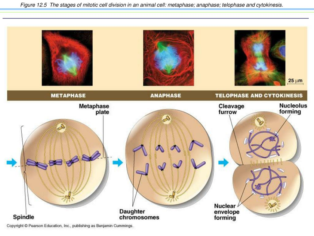 Figure 12.5  The stages of mitotic cell division in an animal cell: metaphase; anaphase; telophase and cytokinesis.