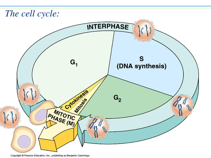 The cell cycle l.jpg