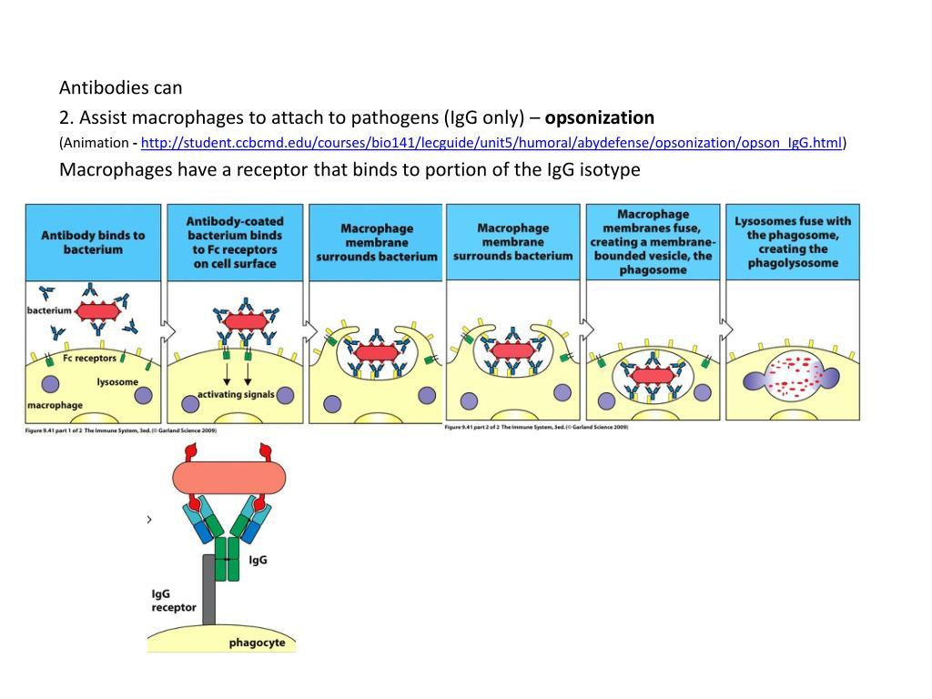 Antibodies can