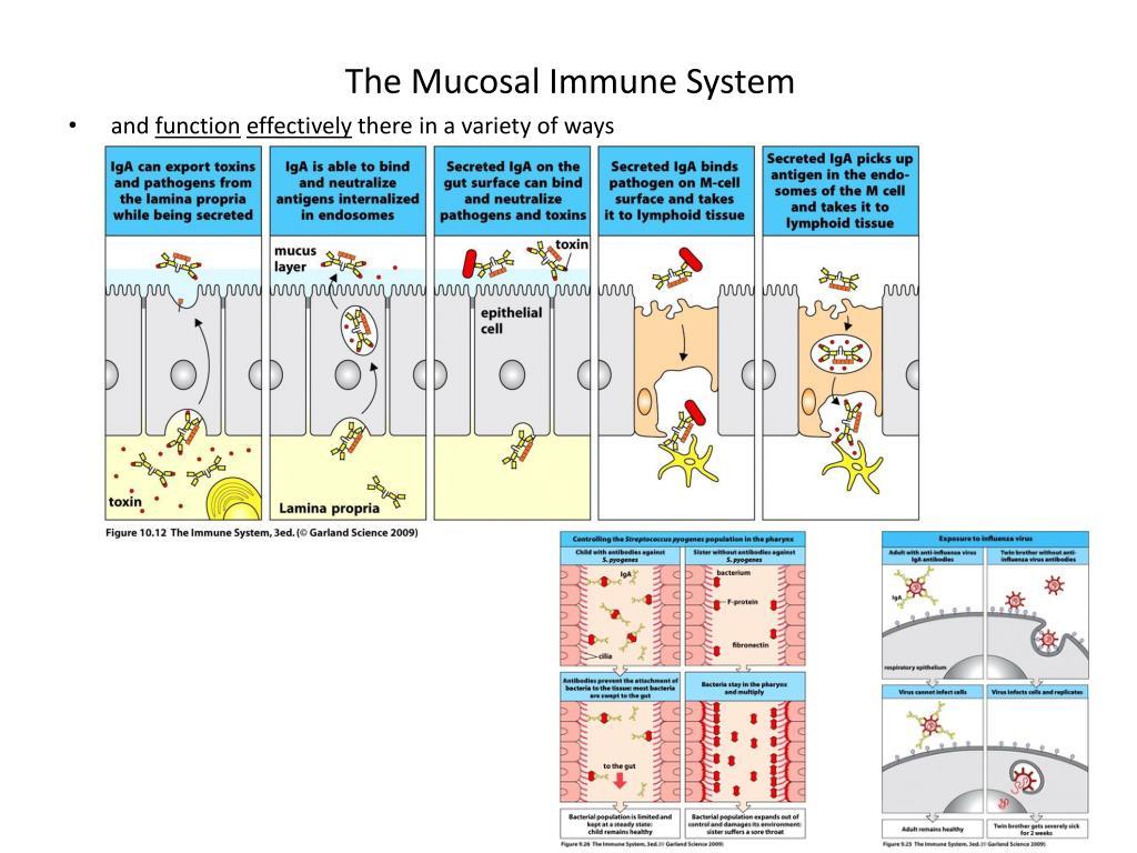 The Mucosal Immune System