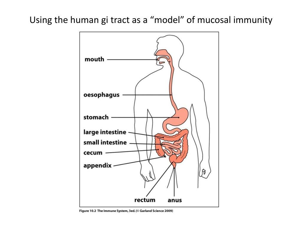 "Using the human gi tract as a ""model"" of mucosal immunity"
