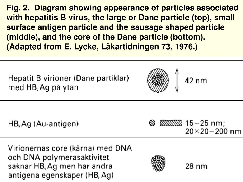 Fig. 2.  Diagram showing appearance of particles associated with hepatitis B virus, the large or Dane particle (top), small surface antigen particle and the sausage shaped particle (middle), and the core of the Dane particle (bottom).  (Adapted from E. Lycke, Läkartidningen 73, 1976.)