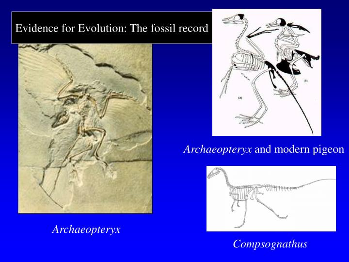Evidence for Evolution: The fossil record
