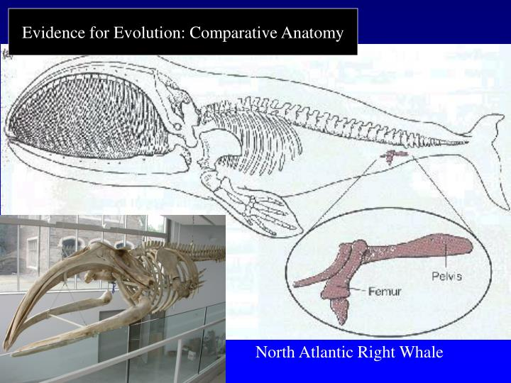 Evidence for Evolution: Comparative Anatomy