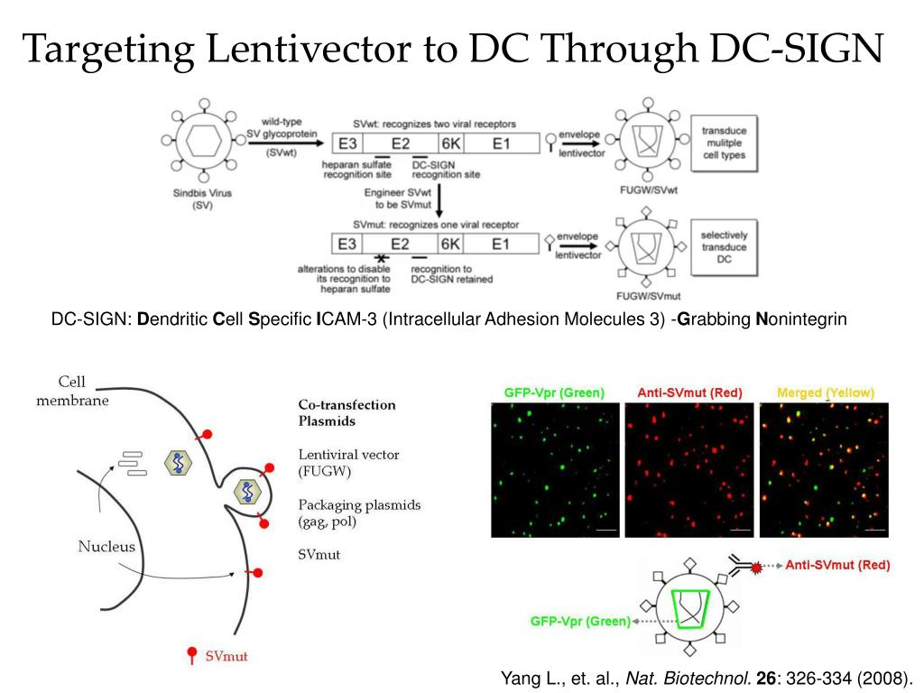 Targeting Lentivector to DC Through DC-SIGN