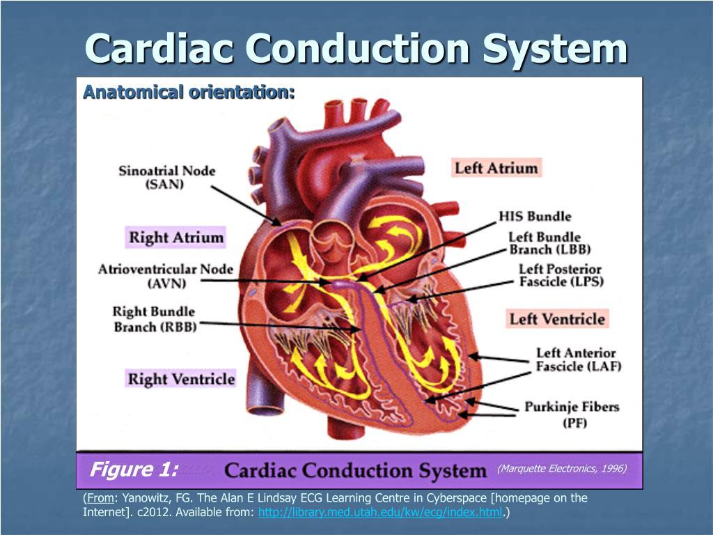 Anatomical orientation: