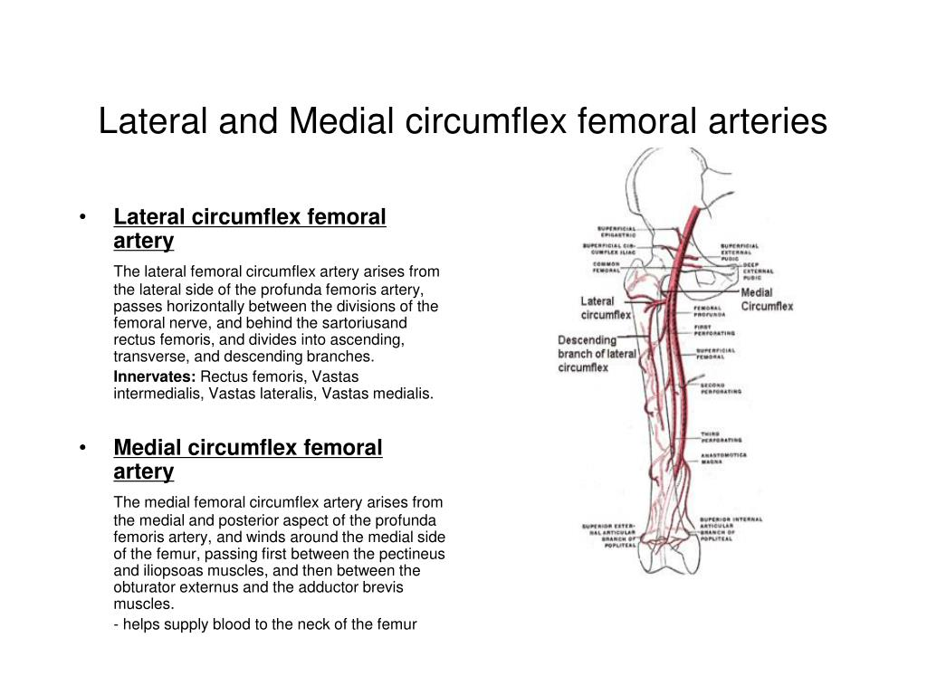 Medial Circumflex Femoral Artery PPT - The Knee Joint P...