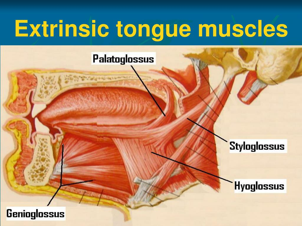Tongue muscle anatomy