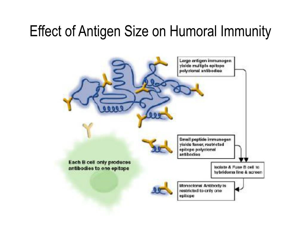 Effect of Antigen Size on Humoral Immunity