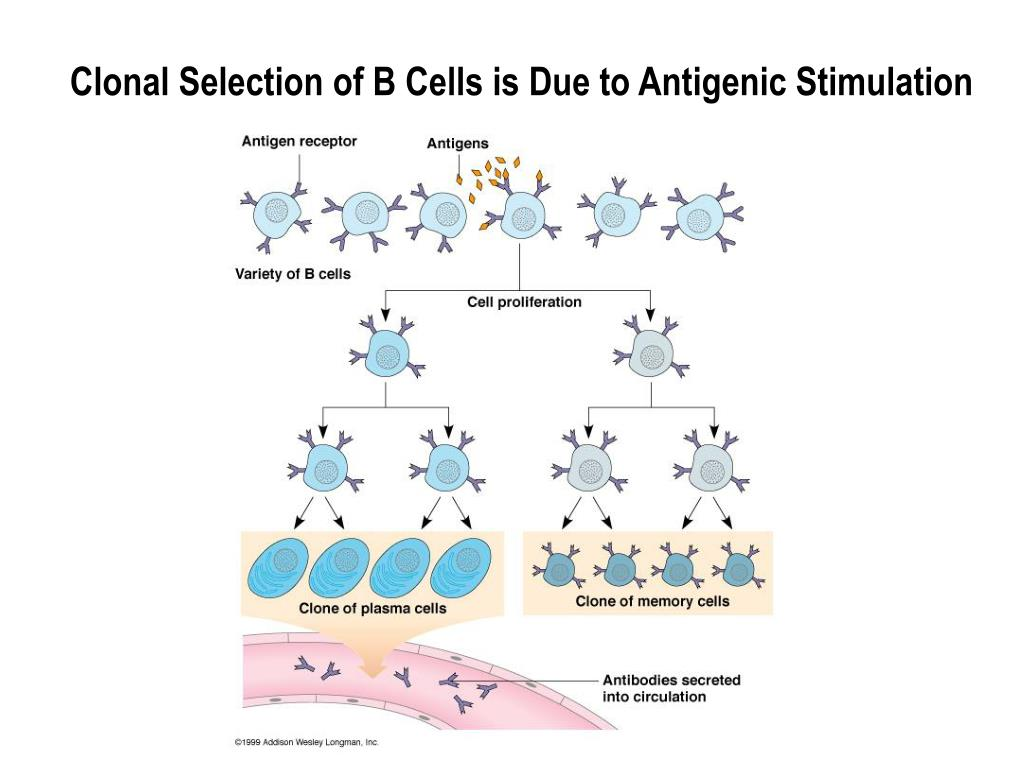 Clonal Selection of B Cells is Due to Antigenic Stimulation