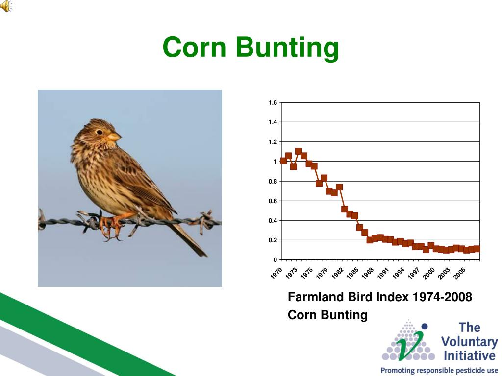 Corn Bunting