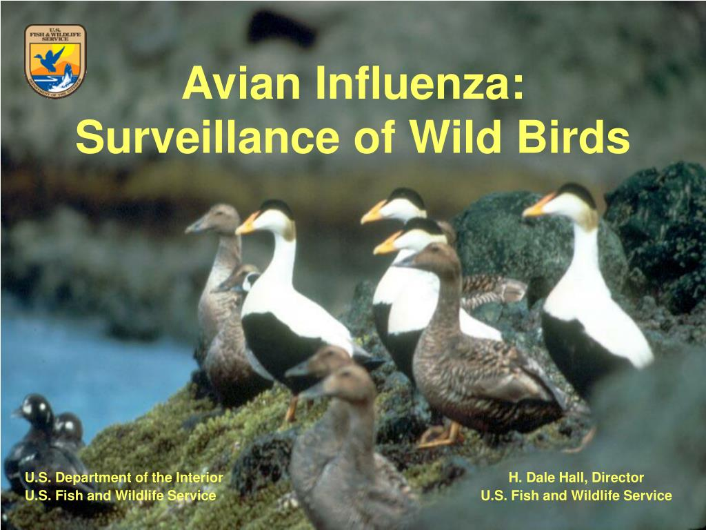 avian influenza surveillance of wild birds