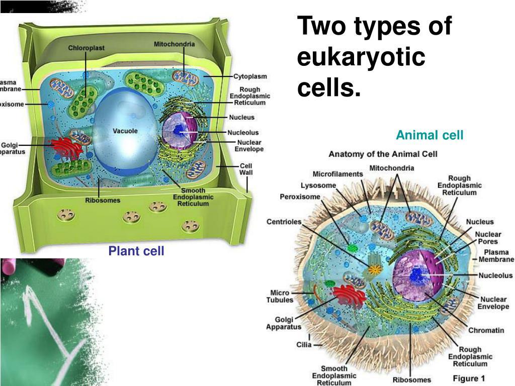 Eukaryotic Animal Cell Anatomy Images - human body anatomy