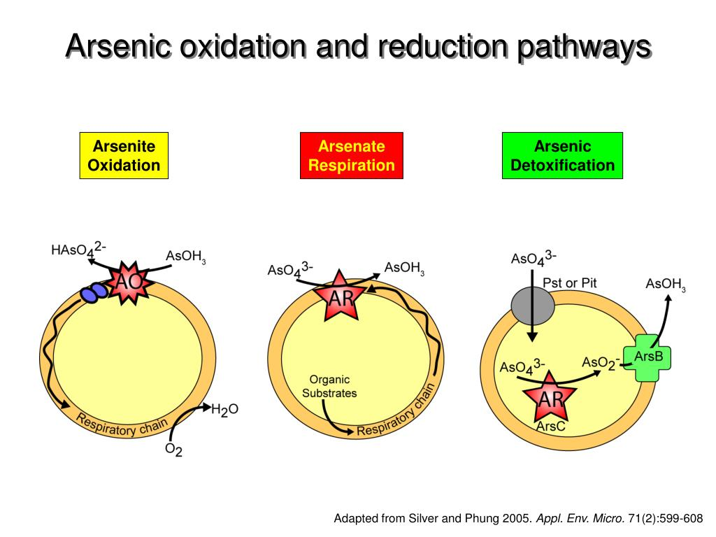Arsenic oxidation and reduction pathways