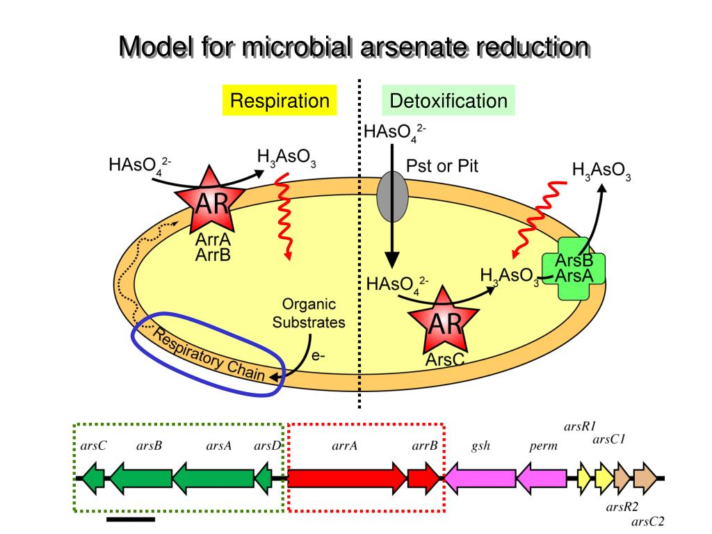 Model for microbial arsenate reduction
