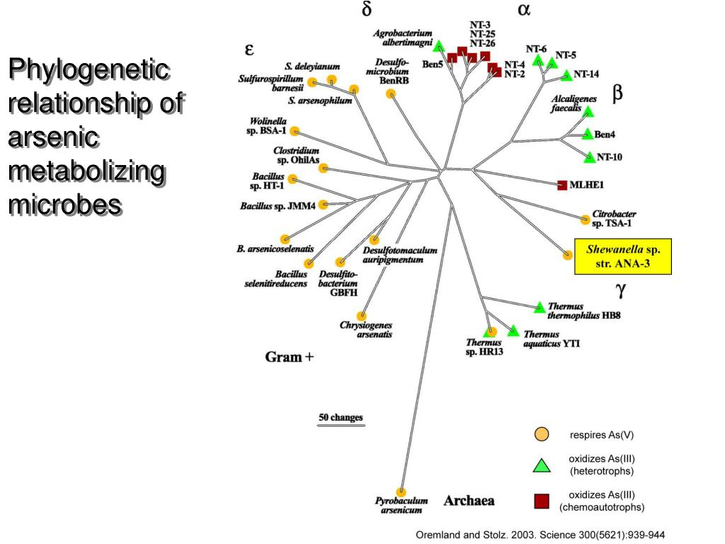 Phylogenetic relationship of arsenic metabolizing microbes