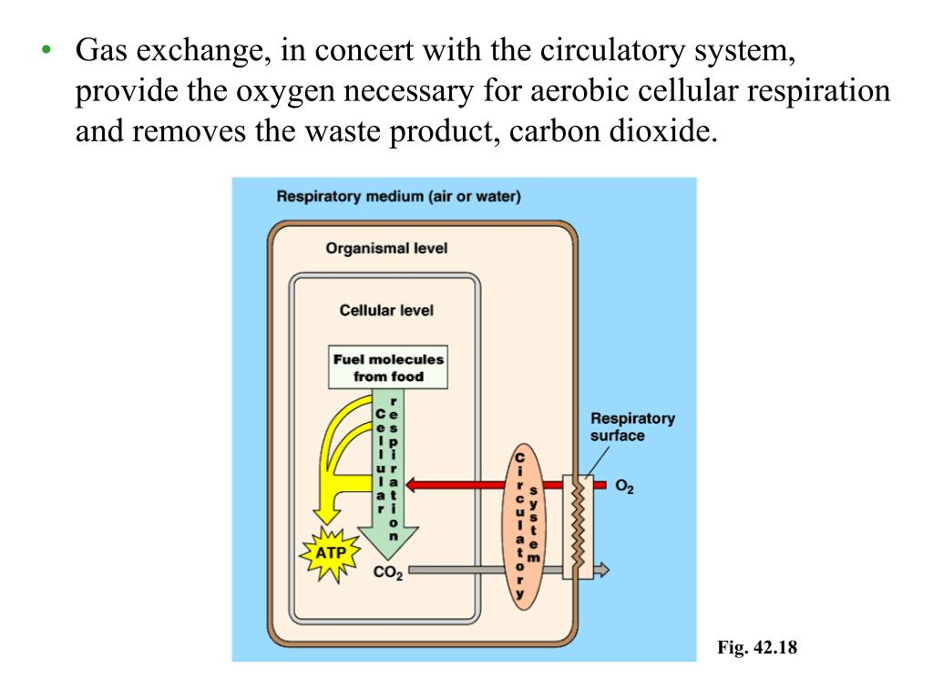 Gas exchange, in concert with the circulatory system, provide the oxygen necessary for aerobic cellular respiration and removes the waste product, carbon dioxide.