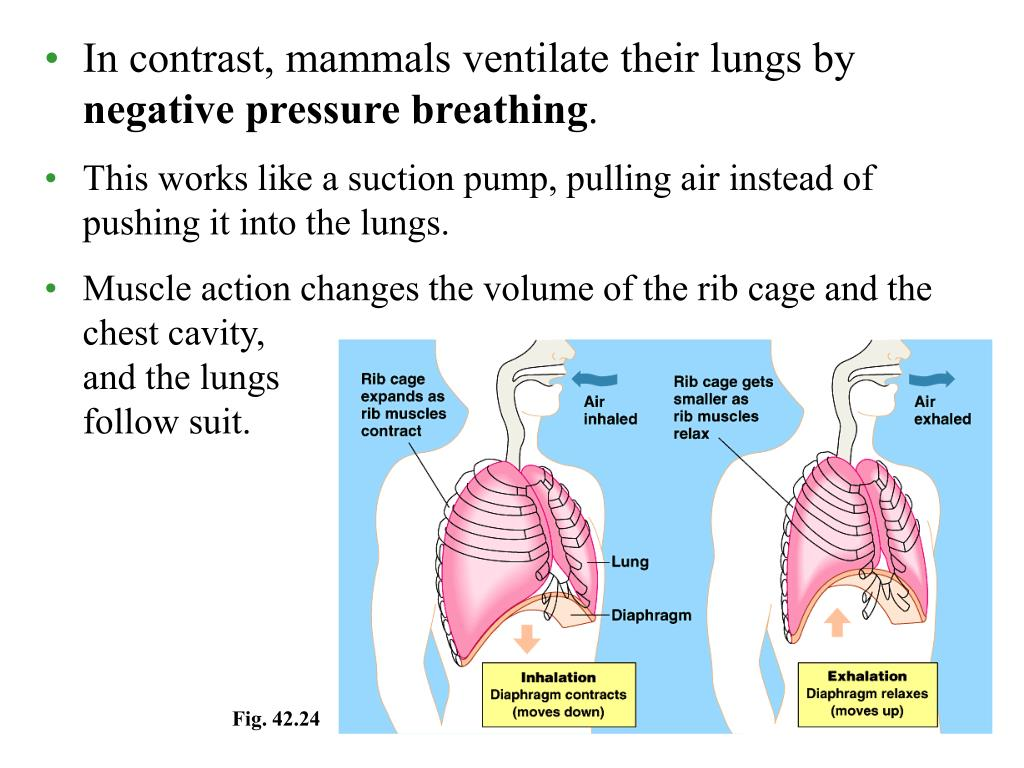 In contrast, mammals ventilate their lungs by