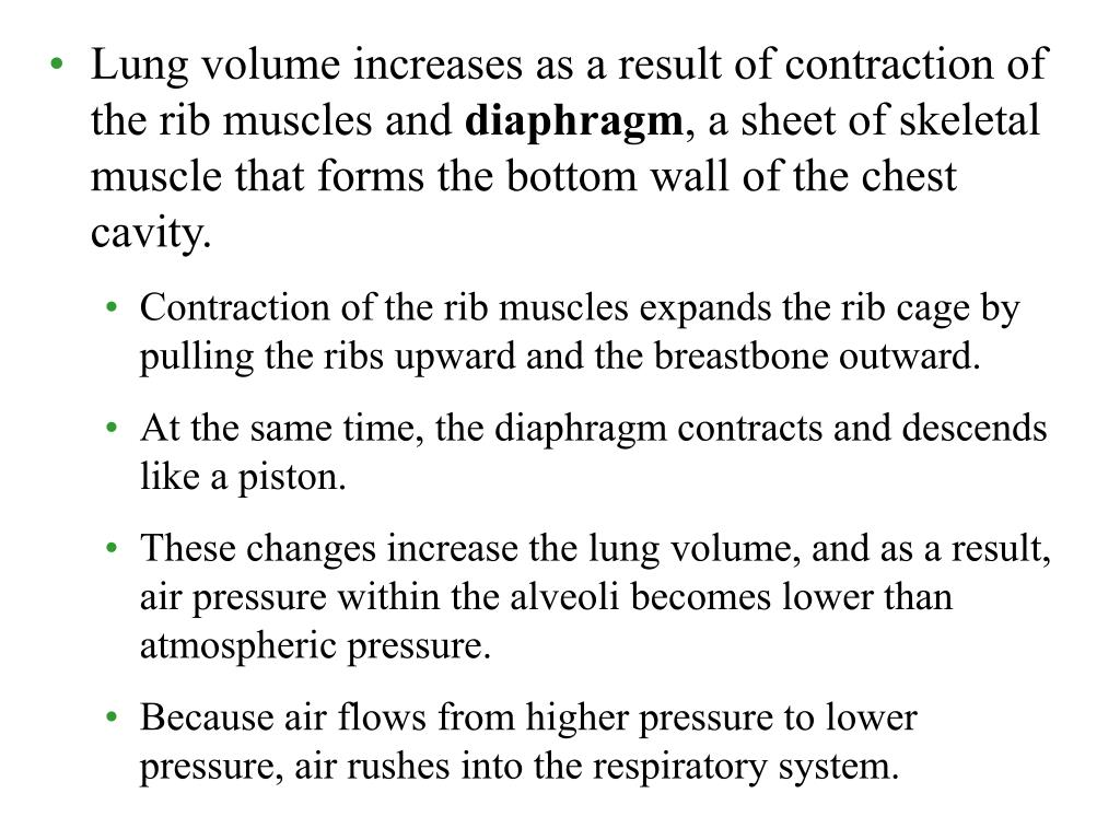 Lung volume increases as a result of contraction of the rib muscles and