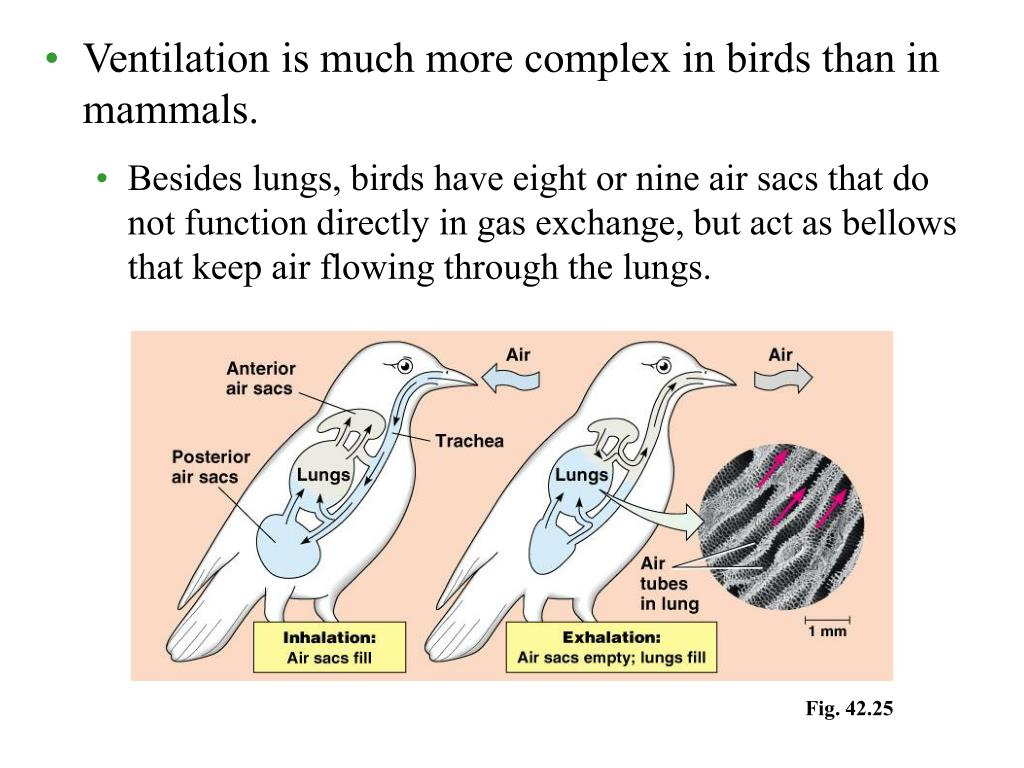 Ventilation is much more complex in birds than in mammals.