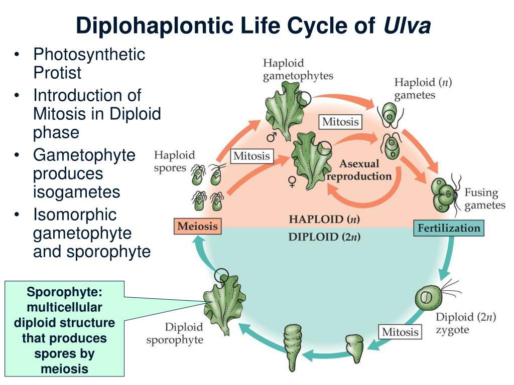 Diplohaplontic Life Cycle of