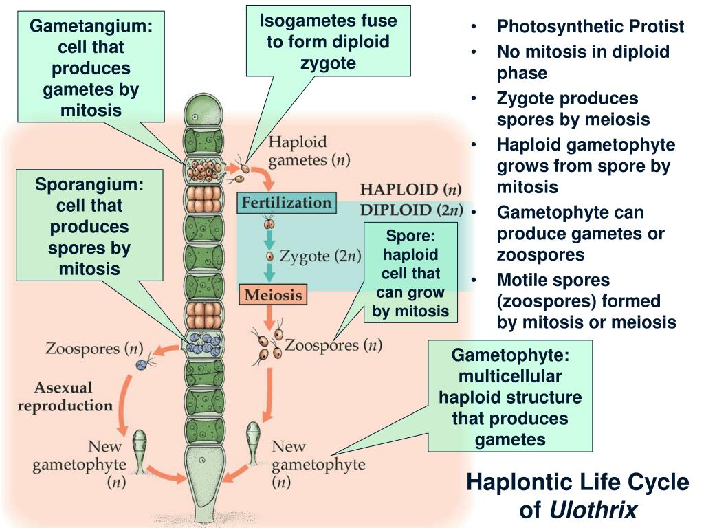 Isogametes fuse to form diploid zygote