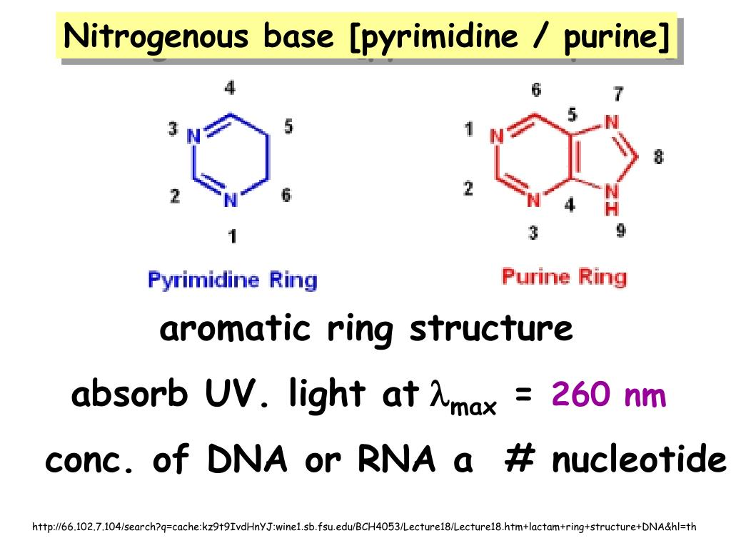 Nitrogenous base [pyrimidine / purine]