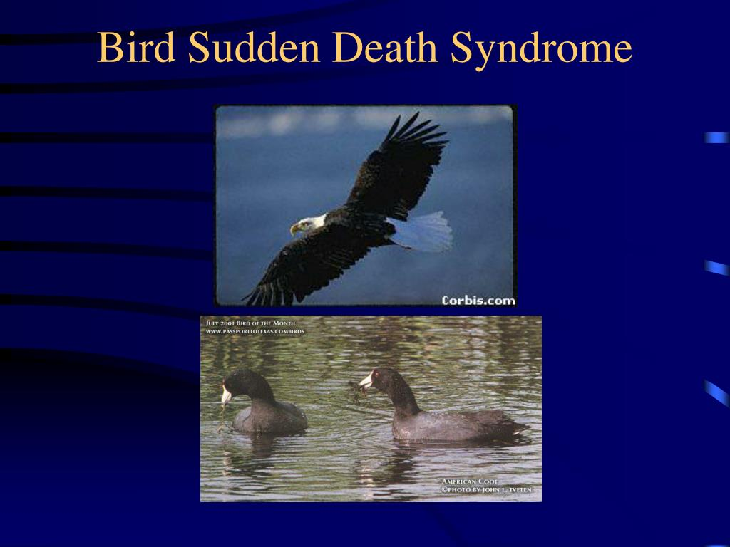 Bird Sudden Death Syndrome