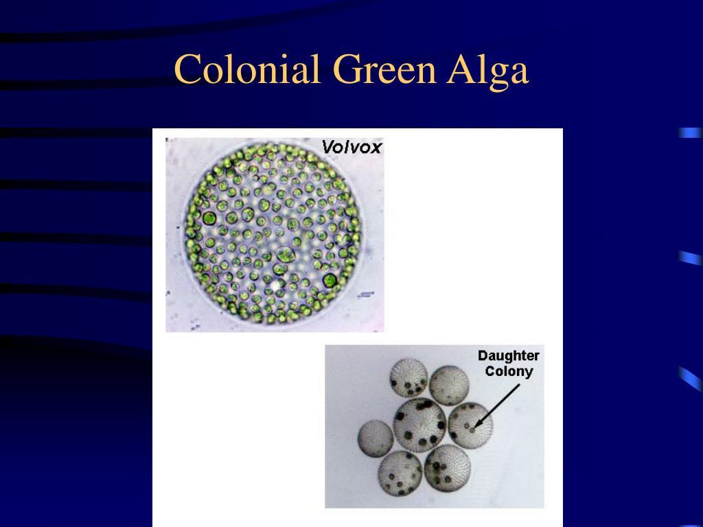 Colonial Green Alga